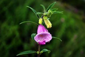 640px-flower_of_sesamum_indicum